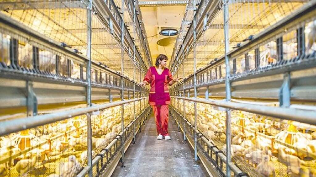 Майнинг на птицефабрике: как владельцы ферм нарушают закон в погоне за дешёвым электричеством