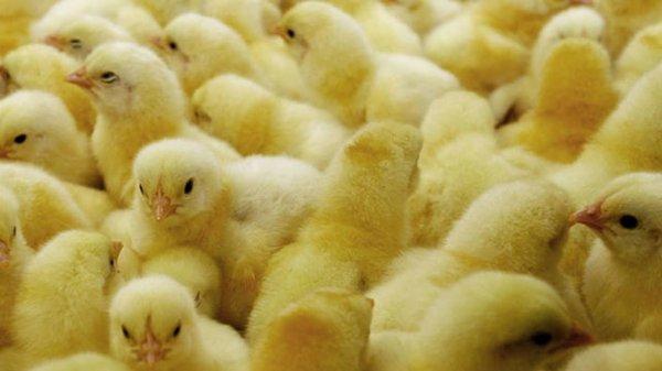 Китай аннулировал пошлины на импортируемых из США цыплят-бройлеров